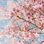 กลิ่นน้ำหอมกลิ่น cherry blossom (เชอรี่ บลอสซั่ม) : 002344