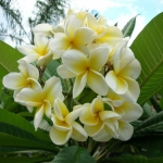 Leelawadee Fragrance ดอกลีลาวดีขาว (1 kg)