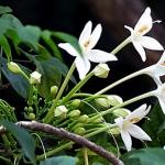 หัวน้ำหอม กลิ่น ดอกปีป -PC0085 450 ml.