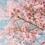 หัวน้ำหอมกลิ่น cherry blossom : 002437 thumbnail 1