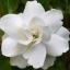 หัวน้ำหอม กลิ่น ดอกพุตซ้อน -PC0093 thumbnail 1