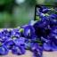 หัวน้ำหอมกลิ่นอัญชัน ฺ butterfly pea thumbnail 1