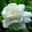 หัวน้ำหอม Jasmine มะลิซ้อน 1 kg. thumbnail 1