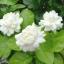 หัวน้ำหอม Jasmine มะลิซ้อน 100 ml. : 003354 thumbnail 1
